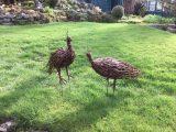 Willow Peacocks